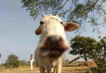 cow-injured-in-sagar-after-bomb-blast