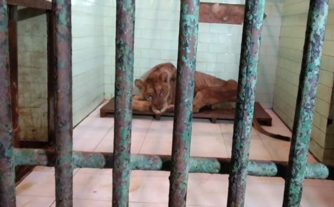 the-oldest-lioness-rani-condition-not-good