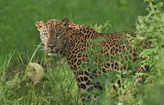 -Leopard-death-due-to-lack-of-water-and-heat-in-Sonchiraiya-Sanctuary