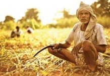 government-busy-in-celebrating-debt-waiver-farmers-cold-humid-for-selling-crop