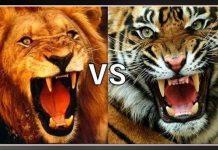 tiger-and-lion-fight-in-politics-ground-of-madhya-pradesh-