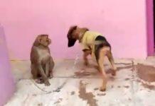 monkey-annoying-dog-video-viral