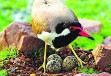 People-estimate-the-rains-with-sandpipers-egg-