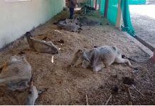30-cows-die-in-countrys-first-cow-sanctuary