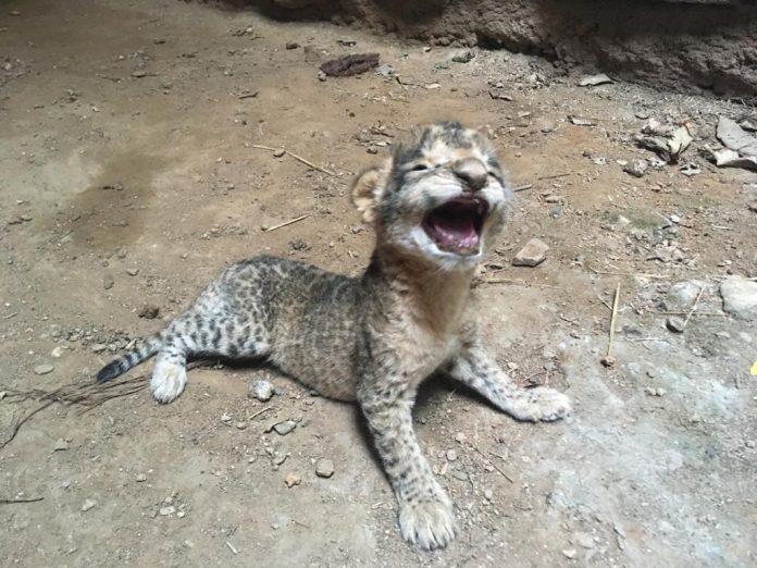 28 साल बाद बब्बर शेर का कुनबा बढ़ा, मादा बब्बर शेर ने दिया 3 शेर शावकों को जन्म