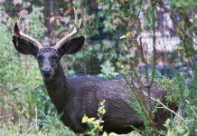black deer dies in damoh