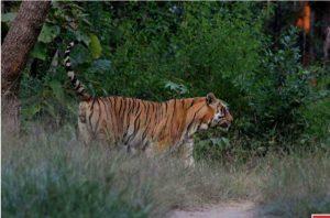 जिप्सी के साथ साथ चला बाघ, Tiger देखकर रोमांचित हुए पर्यटक