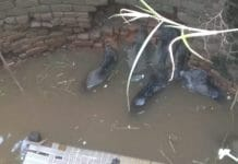 wild pigs fell in well