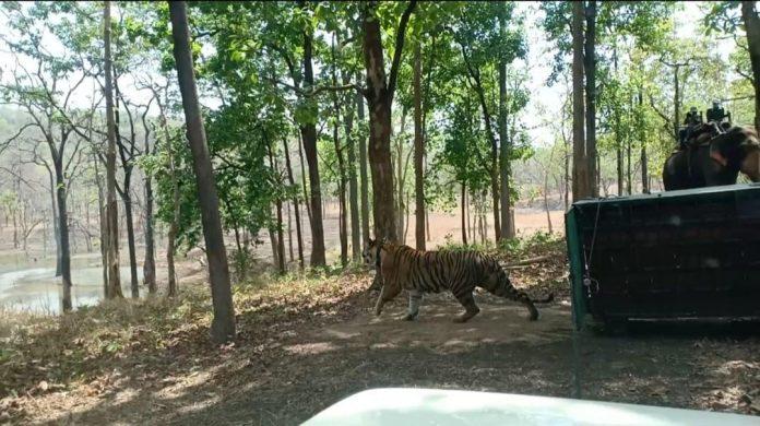 सतपुड़ा टाइगर रिजर्व में नया मेहमान, 3 साल की बाघिन को जंगल में छोड़ा