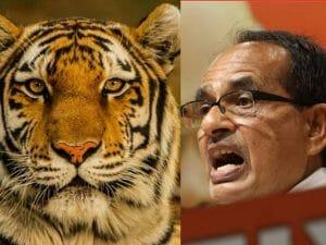 International Tiger Day: टाइगर स्टेट होने पर गौरवान्वित सीएम शिवराज, कही बड़ी बात