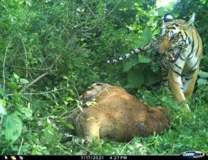शाहगंज के जंगल में बाघ कैमरे में कैद, गाय का शिकार भी किया, पेट्रोलिंग तेज